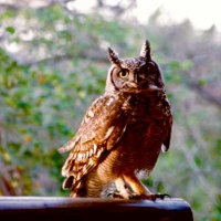 Nandi - Resident Spotted Eagle owl