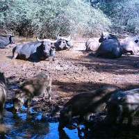 Shayamoya Buffalo - From the boma to the bush
